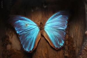 Blue Morphos